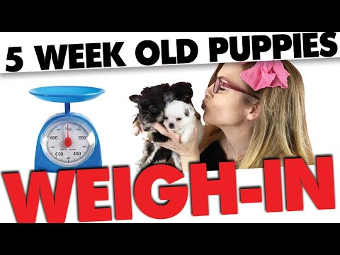 How much will these chihuahua puppies weigh full grown?   sweetie pie pets by kelly swift