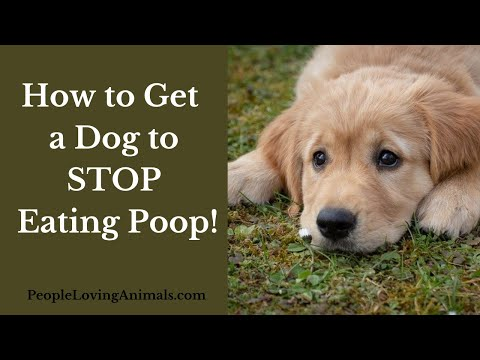 How to get a dog to stop eating poop| why they do it and how to stop it| why is my dog eating poop?
