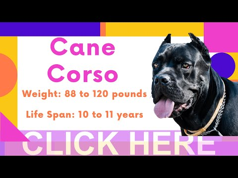 Cane corso breed information and personality