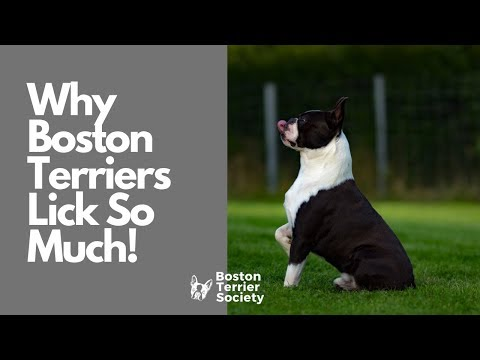 Why do boston terriers lick so much?