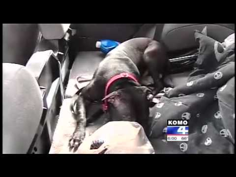 Ex fighting pitbull dog saves woman's car being jacked by car jacker
