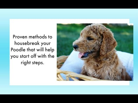 How to potty train a poodle puppy 6 tips to house training a poodle potty train your poodle easily