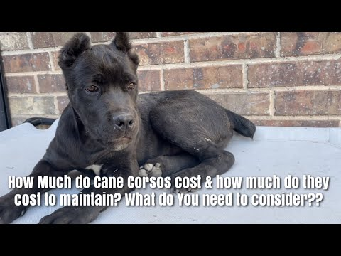How much does a cane corso cost to acquire & maintain?? things to consider.