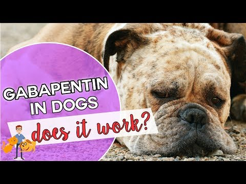 Gabapentin for dogs: is it a dog pain killer that works?