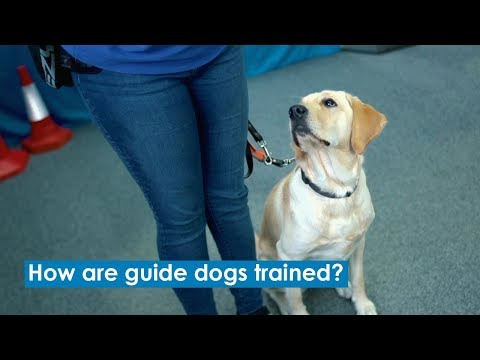 How are guide dogs trained?   accessible version