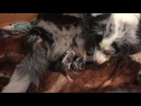 The birth of miniature australian shepherd puppies with tails!
