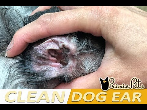 Dog ear cleaning - how to clean dog's ears gently
