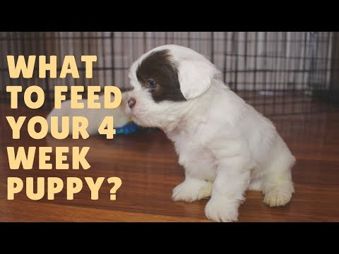 What to feed your 4 week old puppy?