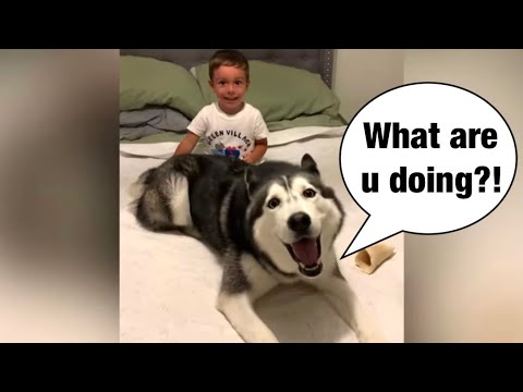 Meeka the husky plays with toddler! (so cute!)