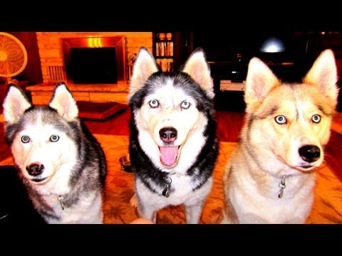Are siberian huskies good with small animals?