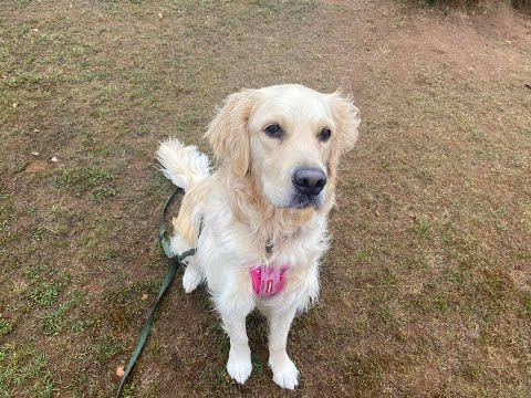 Remi the golden retriever - 4 weeks residential dog training