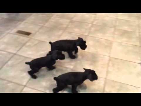Giant schnauzer puppies training candidates for obedience protection dog for sale