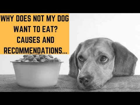 Why does not my dog want to eat? causes and recommendations