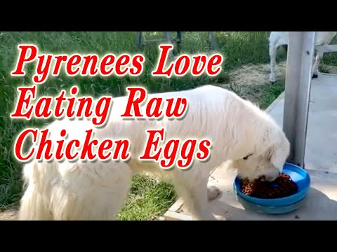Feeding raw chicken eggs to dog   great pyrenees love eating raw chicken eggs   6 eggs for dog