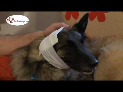 Bandaging the ears of your pet from propetfirstaid.co.uk