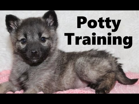 How to potty train a norwegian elkhound puppy - house training norwegian elkhound puppies fast