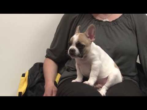 Lentil the french bulldog with a cleft palate visits penn vet