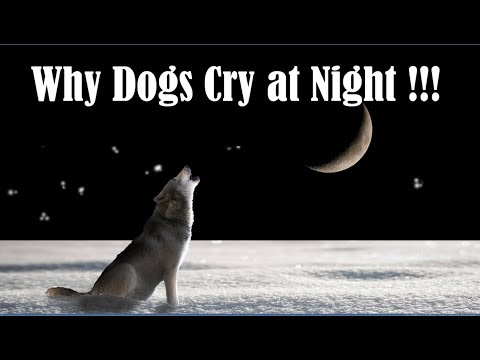 Why dogs cry at night - why dogs howl at night - why dogs bark at night - why dogs weep at night