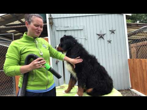 How to groom your dog like the professionals! dry your dog with a professional forced air dryer.