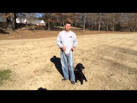 Shooter, six month old started black labrador retriever