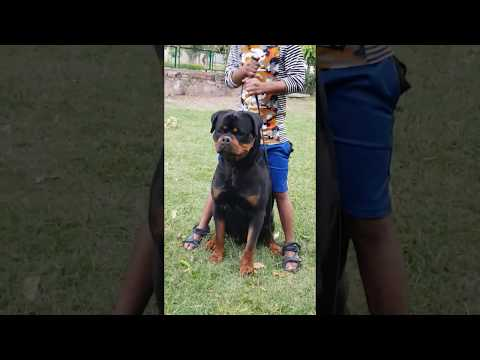 Rottweiler with one of the most loved heads in the world