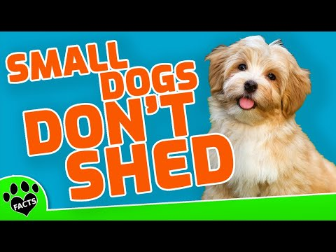 Top 10 small dog breeds that don't shed - dogs 101 toptenz