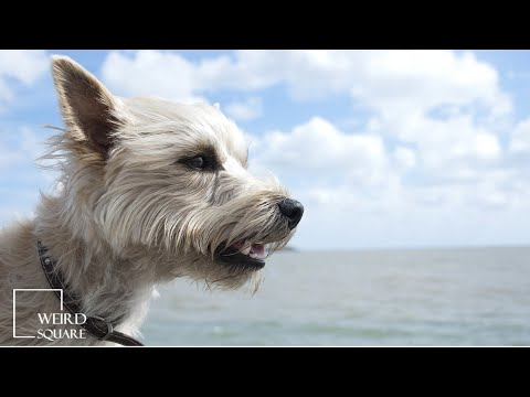 Cairn terriers are intelligent, lively, strong, and loyal. like most terriers