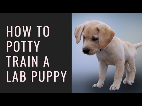 How to potty train a lab puppy – 6 tips to quickly house-train your labrador