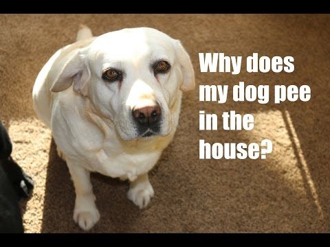 Why does my dog pee in the house?