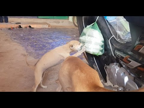 The puppy try to eat delicious food,fried meat food for puppy and dogs