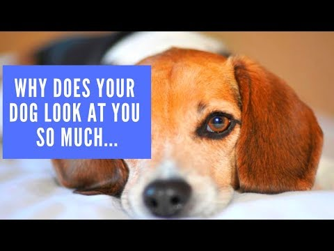 Why does your dog look at you so much, or does he stare at you?