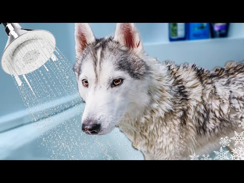 What a bath and grooming my husky at home looks like   bath time challenge