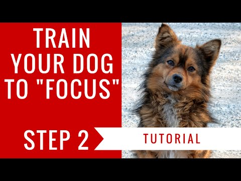 How to train your dog to focus: step 2 tutorial