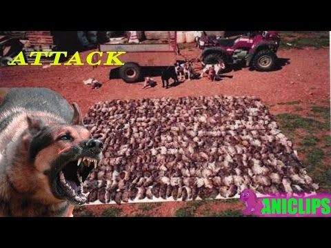 When dogs attack ✯ the dogs enjoy killing the rats