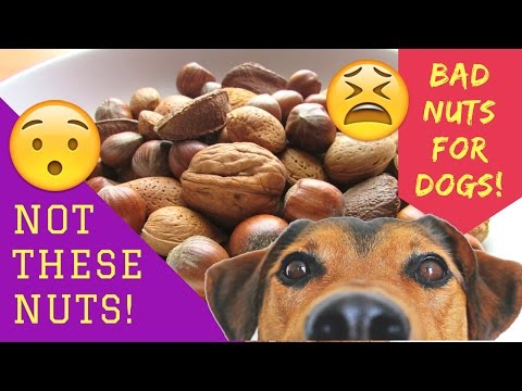 Not these nuts! bad nuts for dogs!