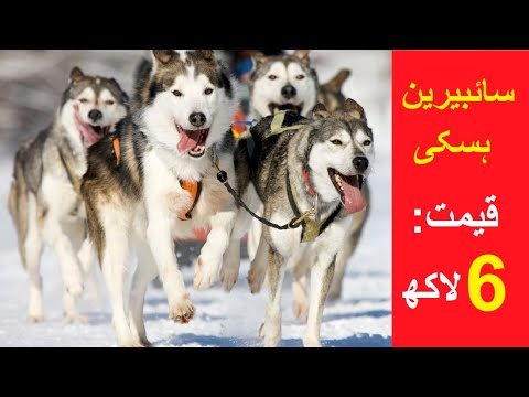 Meet the cutest & expensive siberian husky dogs in sialkot