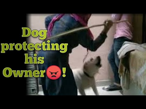Loyal labrador dog protects their owner from any hurt😍-    browni:the labrador 🐾