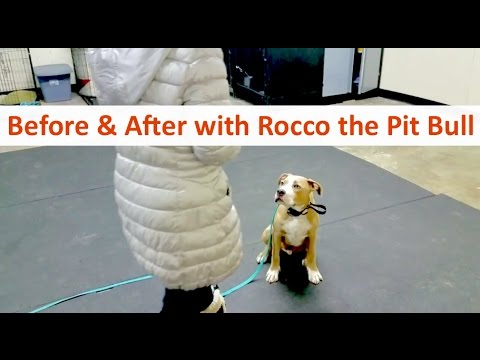 Columbus ohio dog trainer terry cook with rocco, the pit bull terrier in a 10 day board & train